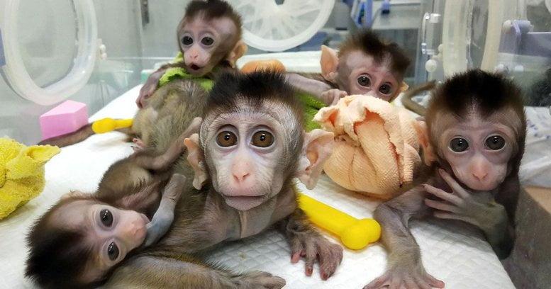 Celule stem obtinute in premiera prin clonarea primatelor